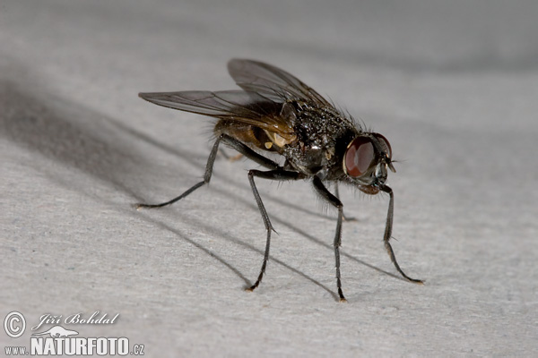 Oh mysterious black fly, why have you come to visit?