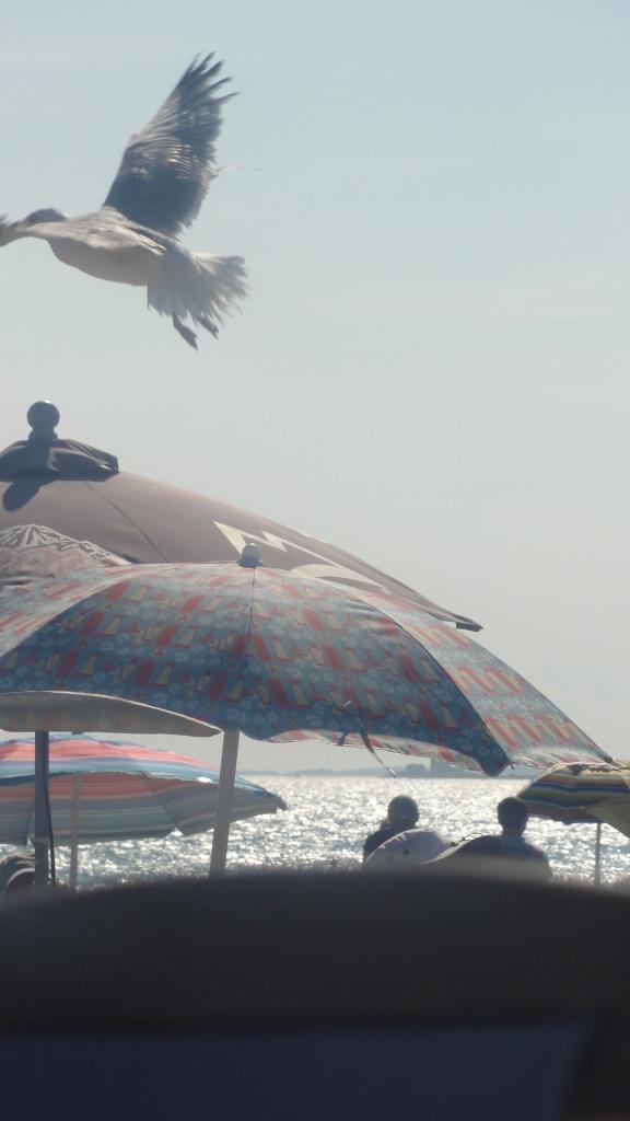A seagull takes flight
